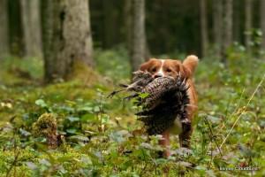 ruby-pheasant